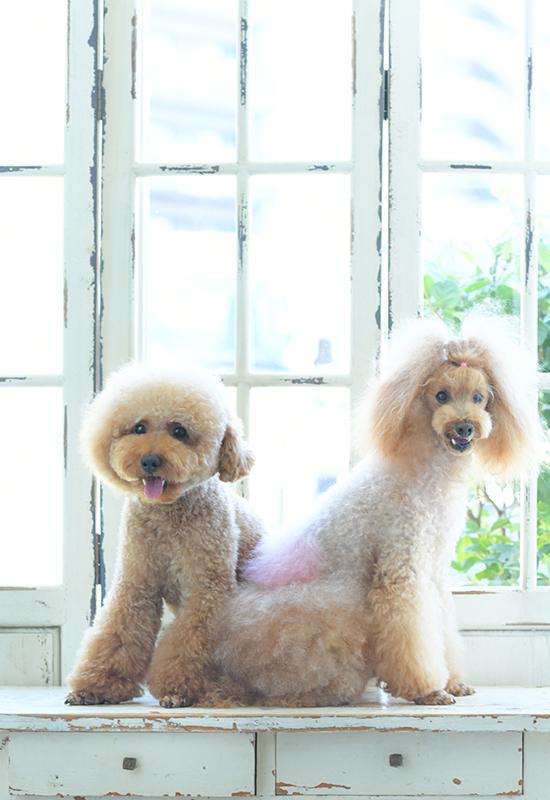 ペット撮影 犬 トイプードル 2匹