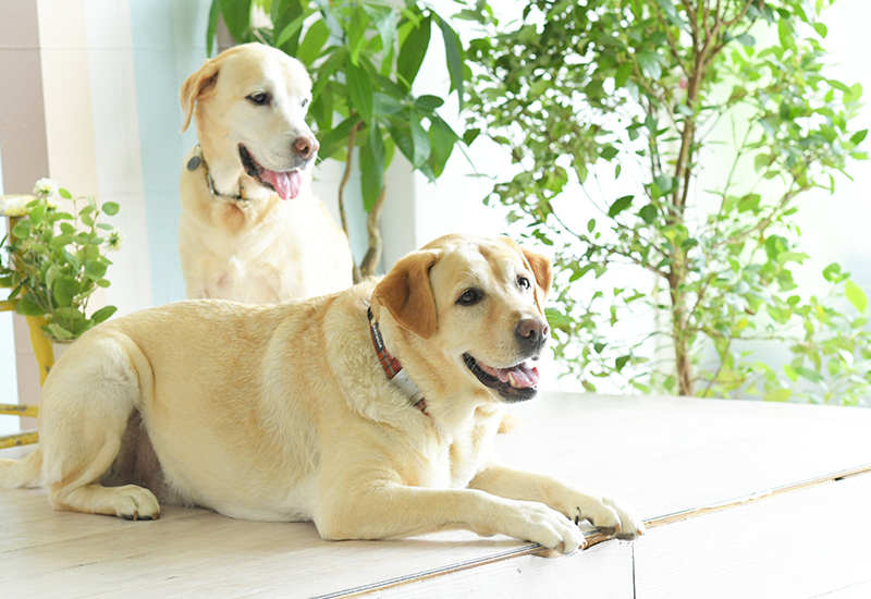 ペット撮影 犬 ラブラドールレトリーバー 2匹